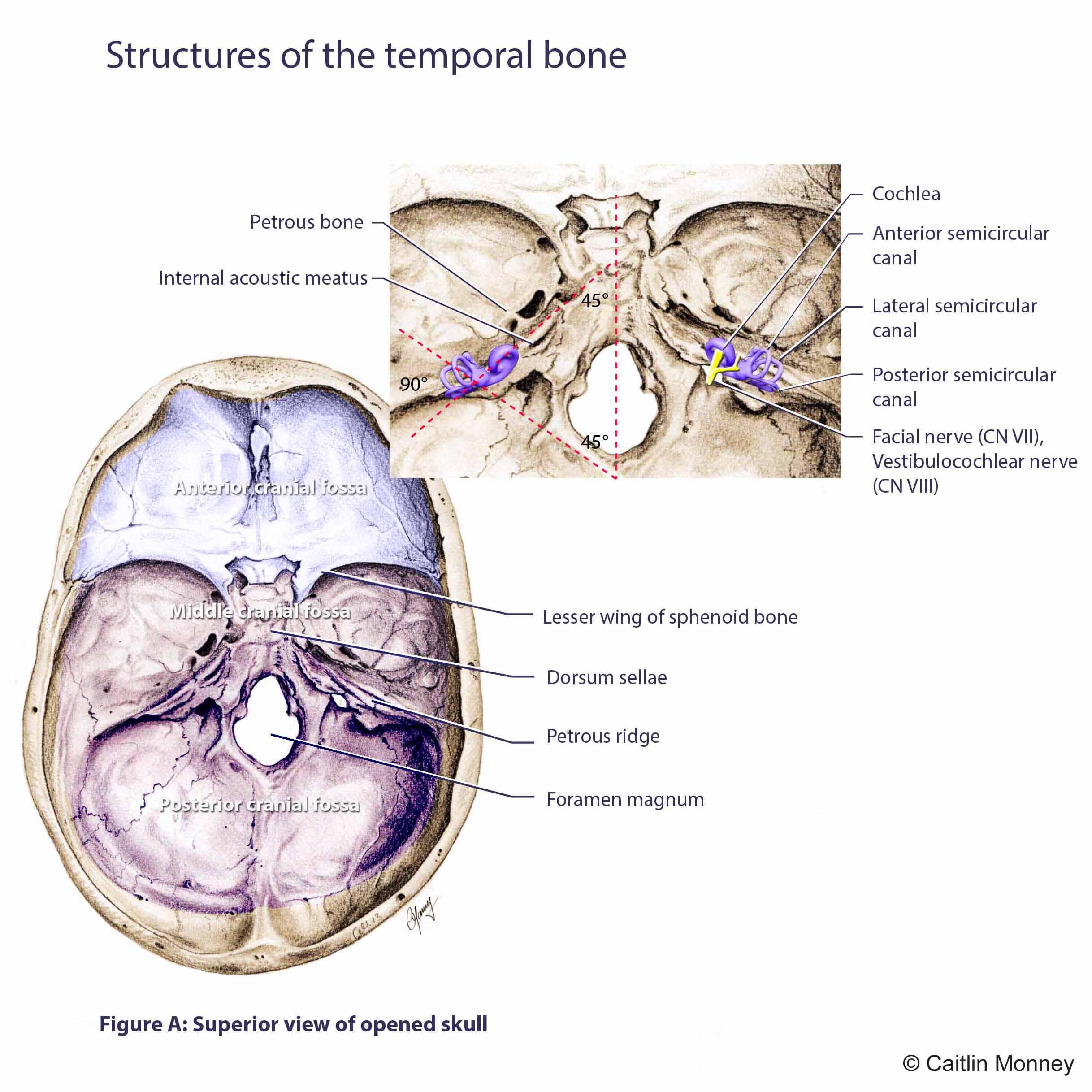 Temporal bone in skull